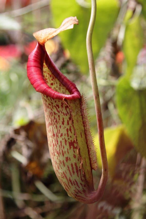 φυτό σταμνών στοκ εικόνες