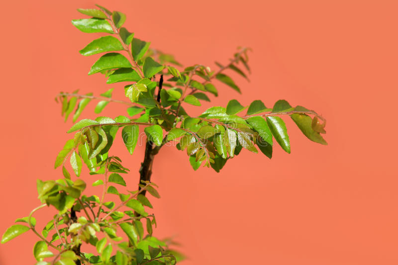 Φυτό φύλλων κάρρυ στοκ φωτογραφίες