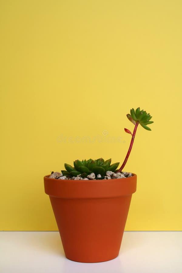 φυτό echeveria succulent στοκ φωτογραφίες