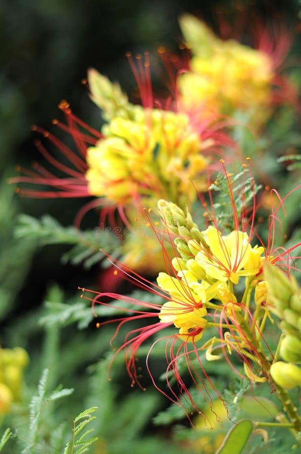 φυτό gilliesii caesalpinia στοκ εικόνα