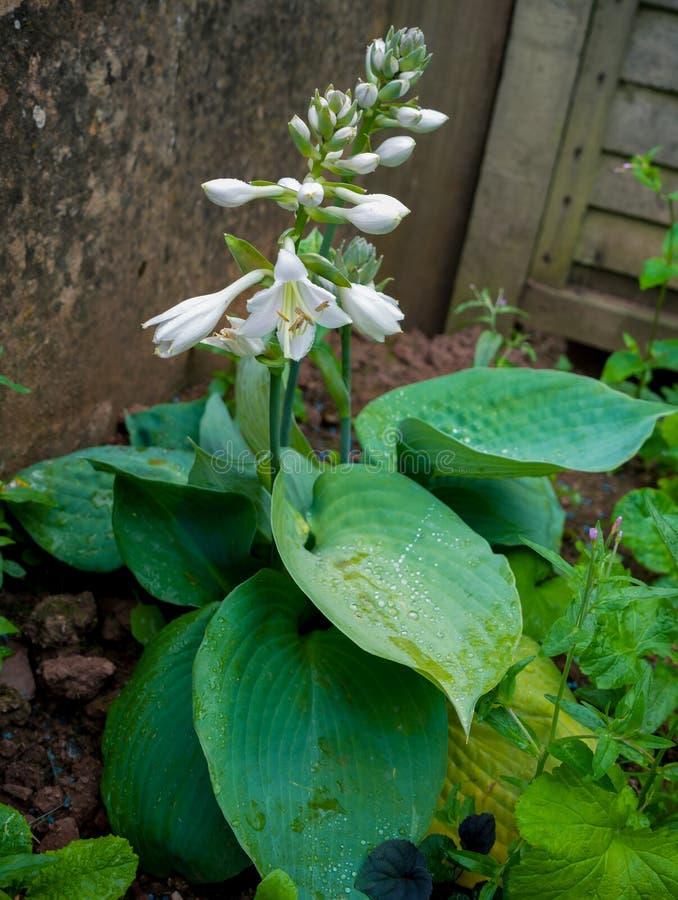 Φυτό Hosta που ανθίζει στον εγχώριο κήπο στοκ φωτογραφίες με δικαίωμα ελεύθερης χρήσης