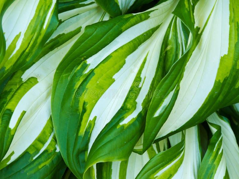 Φυτό Hosta στοκ εικόνες