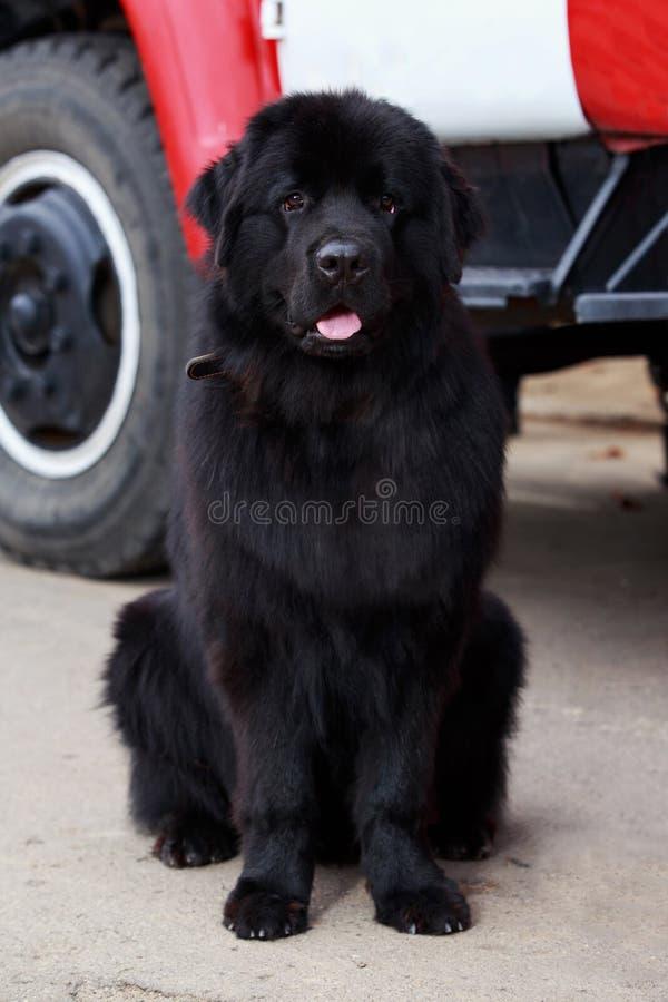 Φυλή νέα γη σκυλιών στοκ φωτογραφίες με δικαίωμα ελεύθερης χρήσης