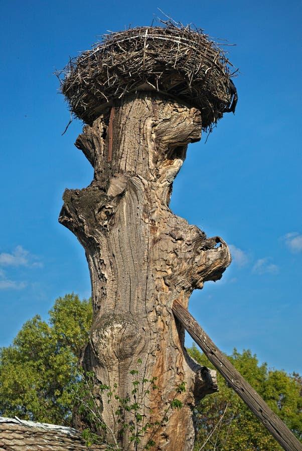 Φωλιά πελαργών στην κορυφή του παλαιού ξηρού δέντρου στοκ φωτογραφίες με δικαίωμα ελεύθερης χρήσης