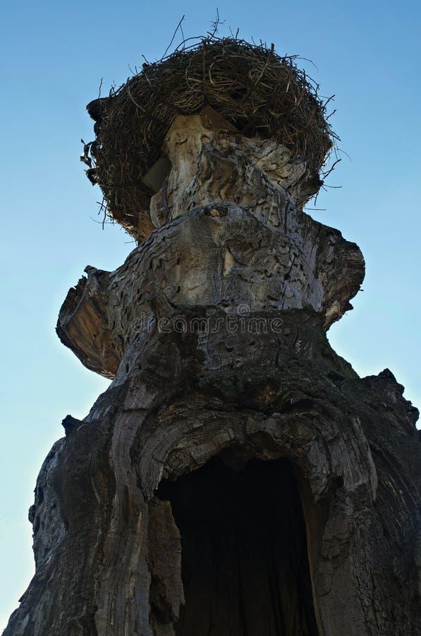 Φωλιά πελαργών στην κορυφή του παλαιού ξηρού δέντρου στοκ εικόνες