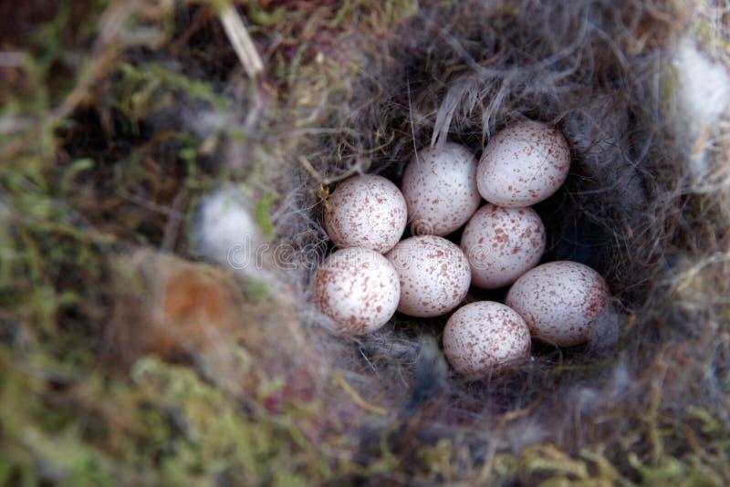 Φωλιά πουλιών με το μπλε tit αυγών στοκ φωτογραφίες