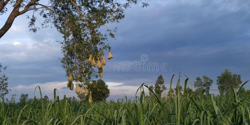 Φωλιά πουλιών υφαντών BA ya στο δέντρο στον τομέα στη βροχερή σύνοδο στοκ φωτογραφίες με δικαίωμα ελεύθερης χρήσης