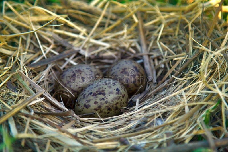 Φωλιά των μαυροκέφαλων γλάρων με το χαρακτηριστικό συμπλέκτη των αυγών στοκ εικόνες