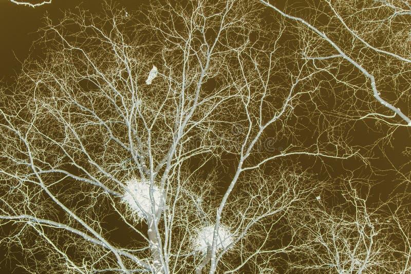 Φωλιές κόρακα στις σημύδες στο ηλιοβασίλεμα και το φεγγάρι στοκ εικόνα με δικαίωμα ελεύθερης χρήσης