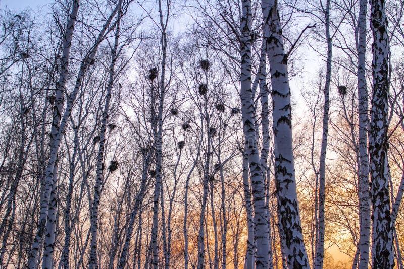 Φωλιές κόρακα στις σημύδες στο ηλιοβασίλεμα και το φεγγάρι στοκ εικόνα
