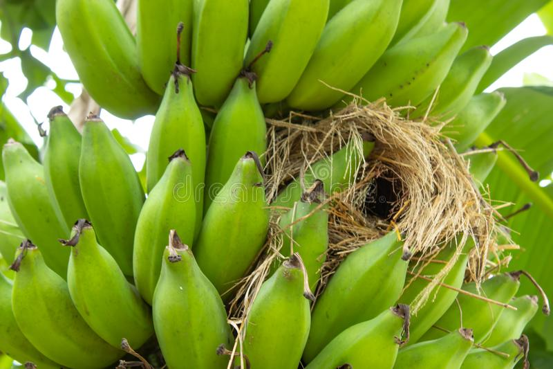 Φωλιές που στηρίζονται στην μπανάνα στον κήπο στοκ φωτογραφία με δικαίωμα ελεύθερης χρήσης