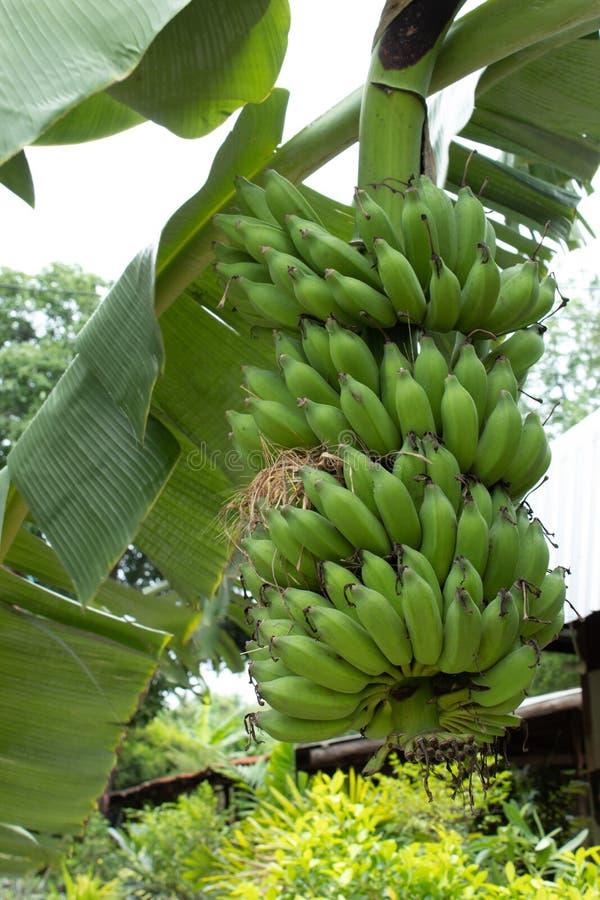 Φωλιές που στηρίζονται στην μπανάνα στον κήπο στοκ φωτογραφίες