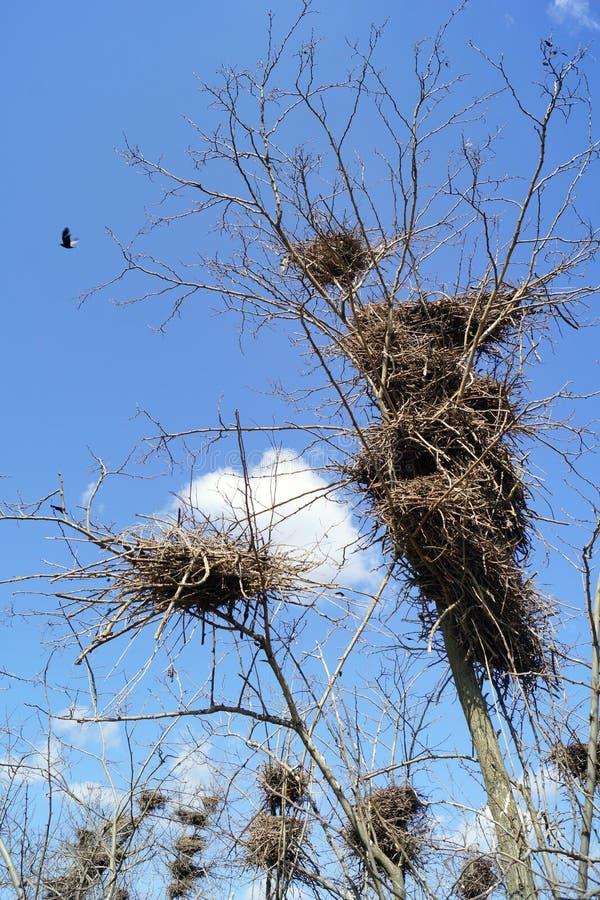 Φωλιές των κοράκων σε ένα δέντρο Κατώτατη όψη στοκ φωτογραφίες