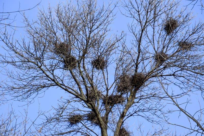 Φωλιές των κοράκων στους υψηλούς κλάδους των δέντρων πτώση αργά φωλιές των πουλιών στοκ εικόνα