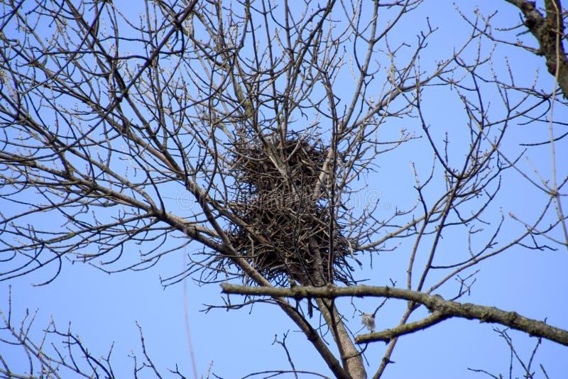 Φωλιές των κοράκων στους υψηλούς κλάδους των δέντρων πτώση αργά φωλιές των πουλιών στοκ φωτογραφίες με δικαίωμα ελεύθερης χρήσης
