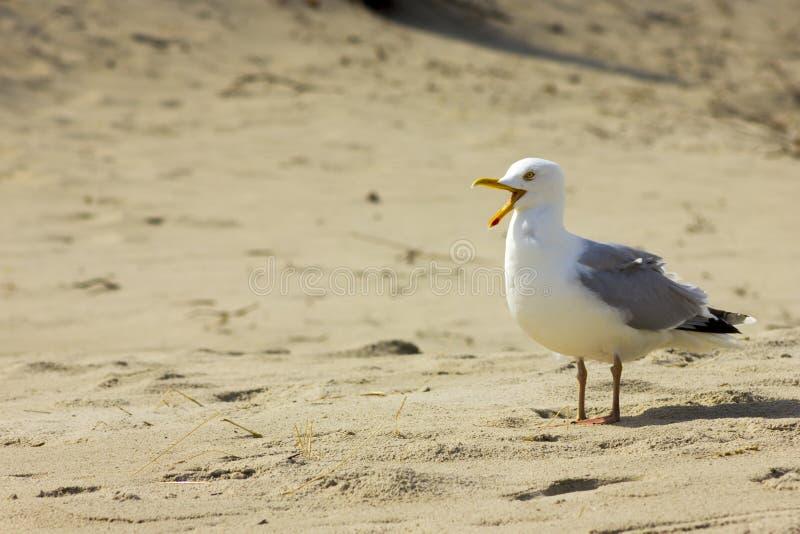 Φωνάζοντας γλάρος στην παραλία στοκ εικόνες