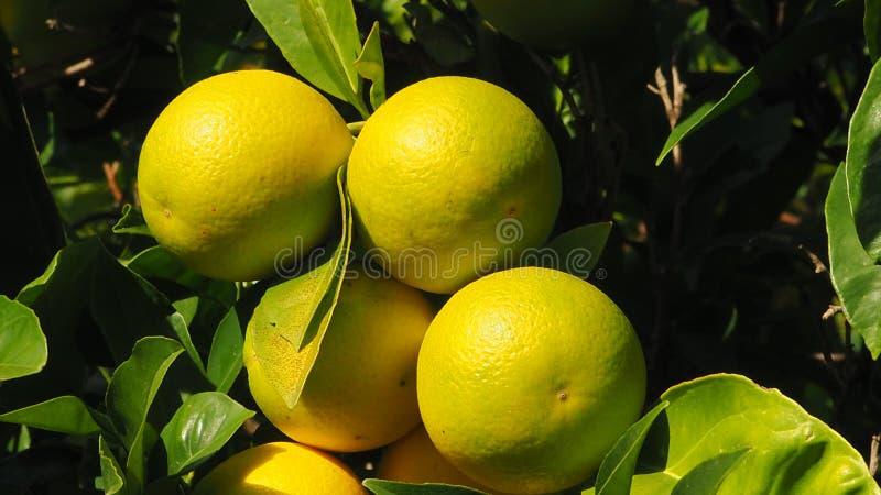 Φωνάξτε τα λεμόνια σε ένα δέντρο λεμονιών στοκ εικόνα
