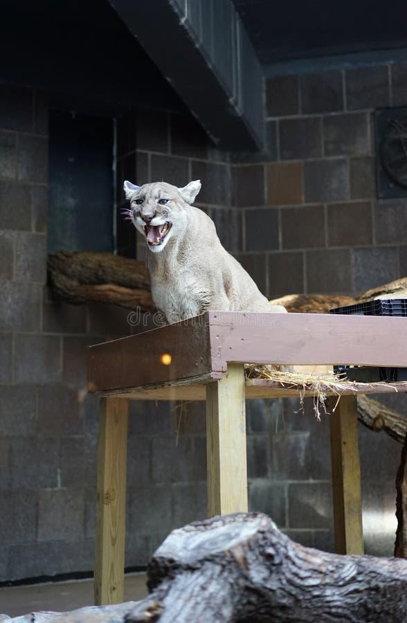 Φωνητικό Cougar στοκ εικόνα