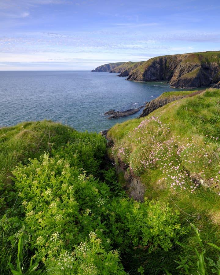 """Φως βραδιού άνοιξη Thrift """"pinks θάλασσας στον κόλπο Ceibwr, Pembroke, Ουαλία στοκ εικόνες με δικαίωμα ελεύθερης χρήσης"""