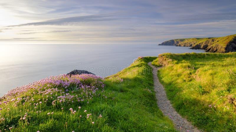 """Φως βραδιού άνοιξη Thrift """"pinks θάλασσας στον κόλπο Ceibwr, Pembroke, Ουαλία στοκ εικόνα"""