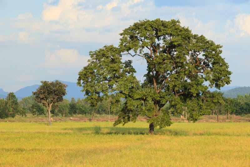 Φως βραδιού των μεγάλων εγκαταστάσεων δέντρων σε χρυσή χρήση τομέων ορυζώνα ρυζιού ως φυσικό υπόβαθρο εδάφους scape στοκ φωτογραφίες