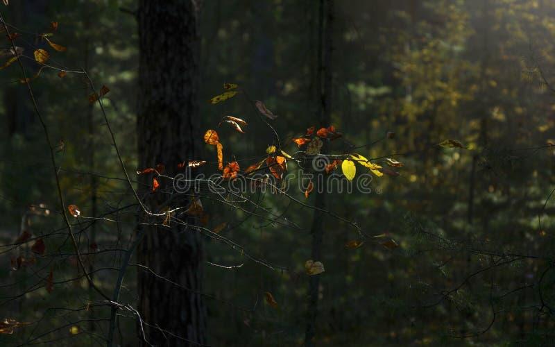 Φως της έννοιας ελπίδας: Τα φύλλα που καίγονται στον ήλιο ένα σκοτεινό μυστήριο δασικό φθινόπωρο φαντασίας, πέφτουν ζωηρόχρωμο φύ στοκ φωτογραφία