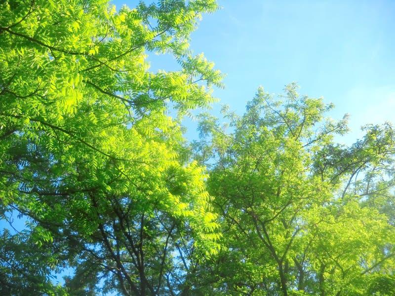 Φως του ήλιου άνοιξη treetops της ακακίας στοκ εικόνες