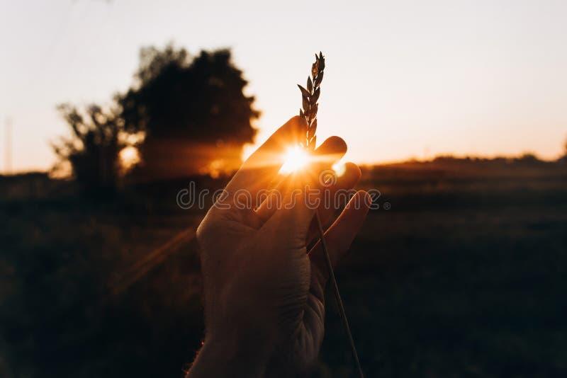 Φως του ήλιου μέσω του χεριού με το σίτο αυτιών στις ακτίνες ηλιοβασιλέματος το καλοκαίρι ev στοκ εικόνα με δικαίωμα ελεύθερης χρήσης
