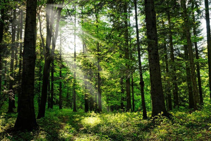 Φως του ήλιου στο πράσινο δάσος στοκ φωτογραφία με δικαίωμα ελεύθερης χρήσης