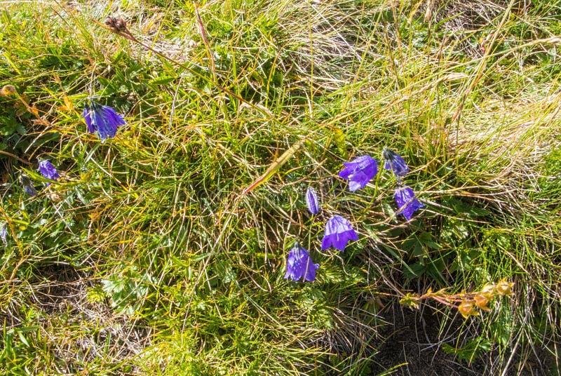 Φωτεινά ζωηρόχρωμα αλπικά bellflowers στην κορυφή του βουνού, α στοκ εικόνα