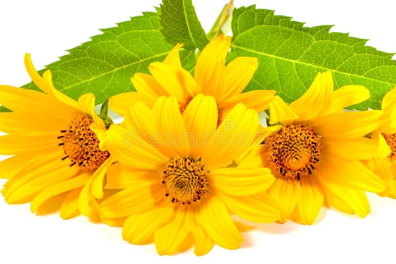 Φωτεινά κίτρινα λουλούδια μαργαριτών που απομονώνονται στο λευκό στοκ εικόνες