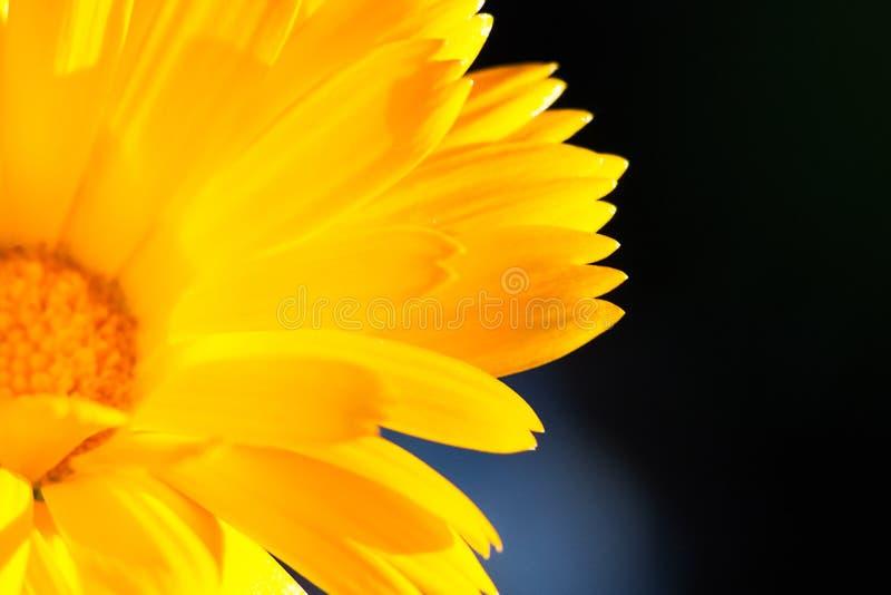 Φωτεινά κίτρινα πέταλα λουλουδιών που καίγονται στο φως του ήλιου στοκ εικόνα