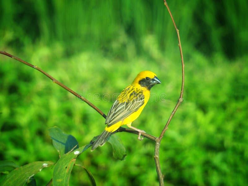 Φωτεινά κίτρινα πουλιά στο θολωμένο κλάδοι υπόβαθρο στους πράσινους τόνους Είναι ασιατικός χρυσός-υφαντής Και έχει ένα επιστημονι στοκ φωτογραφία με δικαίωμα ελεύθερης χρήσης