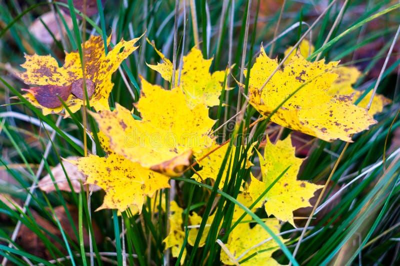 Φωτεινά κίτρινα φύλλα σφενδάμου στην πράσινη χλόη o Η μαλακή εστίαση, στοκ εικόνα με δικαίωμα ελεύθερης χρήσης