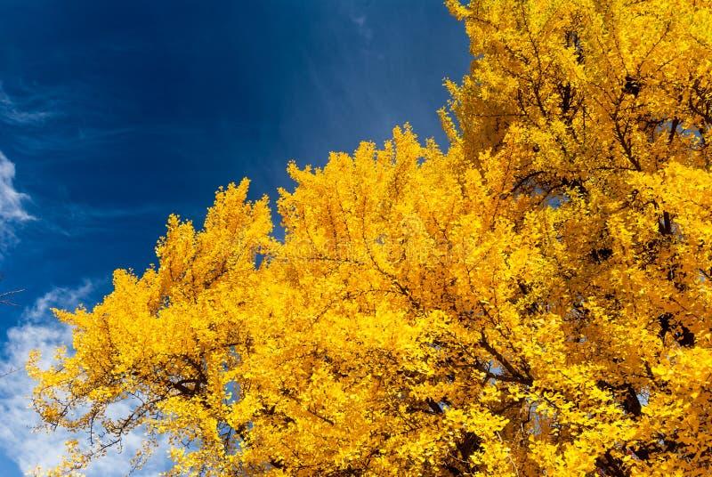 Φωτεινά κίτρινα χρώματα πτώσης, Βοστώνη κοινή, ΗΠΑ στοκ φωτογραφία με δικαίωμα ελεύθερης χρήσης