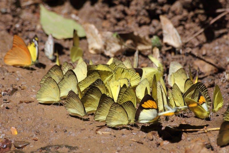 Φωτεινά κίτρινα butterflaies στοκ φωτογραφία με δικαίωμα ελεύθερης χρήσης