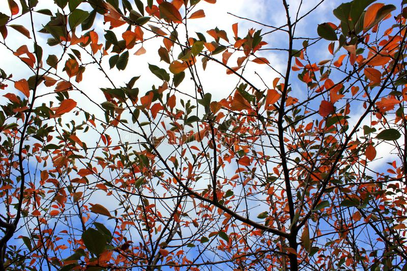 Φωτεινά κιτρινοπράσινα φύλλα σε έναν κλάδο δέντρων, χρώματα φθινοπώρου στοκ εικόνα με δικαίωμα ελεύθερης χρήσης