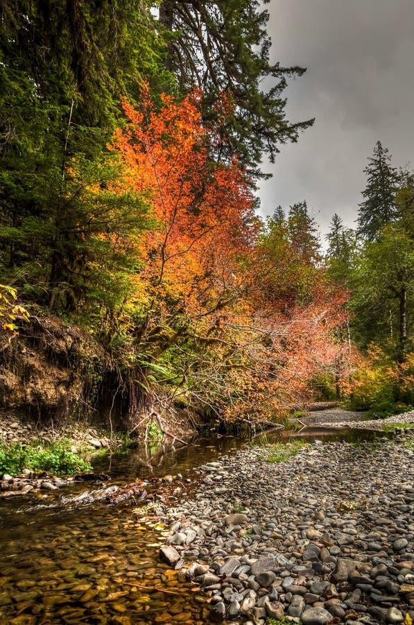 Φωτεινά κόκκινα, κίτρινα και πορτοκαλιά χρώματα πτώσης δίπλα στον ειρηνικό ήρεμο κολπίσκο στο τροπικό δάσος Hoh στοκ εικόνα
