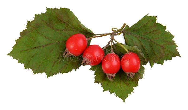 Φωτεινά κόκκινα μούρα των submollis crataegus κραταίγου στοκ εικόνα με δικαίωμα ελεύθερης χρήσης
