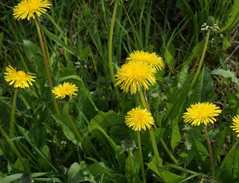 Φωτεινά λουλούδια dandellion με τα πράσινα φύλλα πέρα από το υπόβαθρο οργανικού χώματος στοκ φωτογραφίες