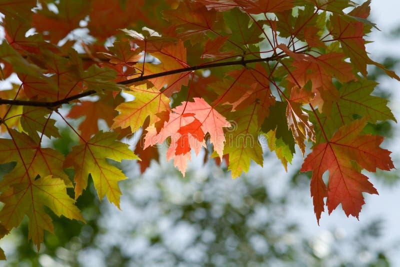 Φωτεινά δονούμενα φύλλα δέντρων σφενδάμνου χρώματος (acer) το φθινόπωρο στοκ εικόνες με δικαίωμα ελεύθερης χρήσης