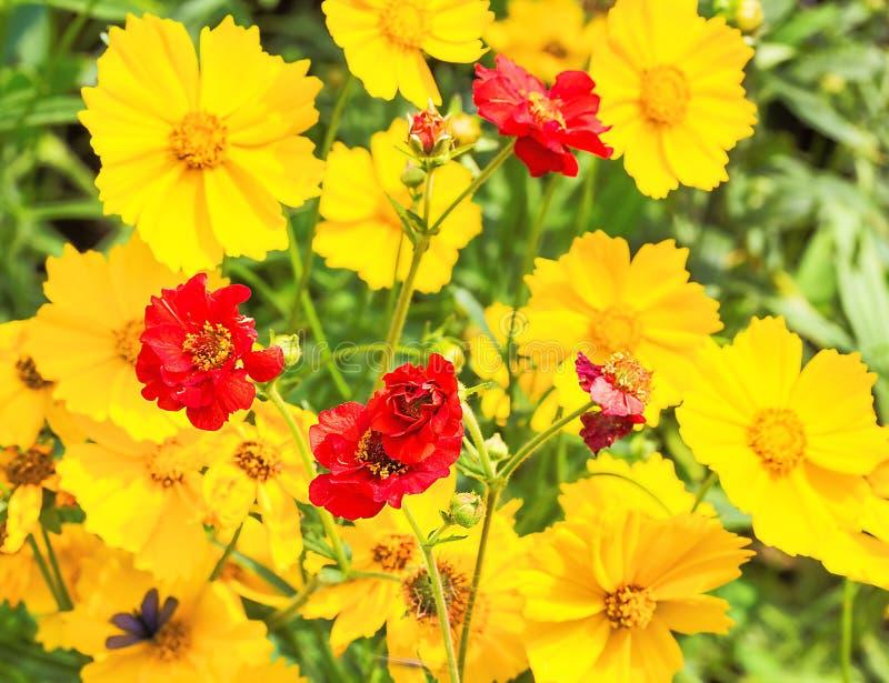 Φωτεινά λουλούδια των avens και του coreopsis, κινηματογράφηση σε πρώτο πλάνο στοκ εικόνα