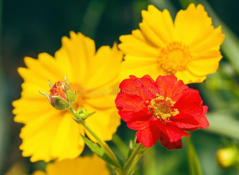 Φωτεινά λουλούδια των avens και του coreopsis, μακροεντολή στοκ εικόνες
