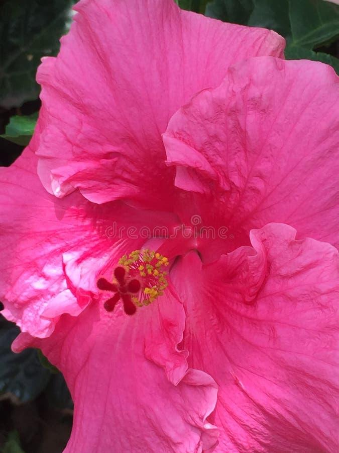 Φωτεινά ρόδινα Hibiscus στον ήλιο στη ρύθμιση κήπων στοκ εικόνα με δικαίωμα ελεύθερης χρήσης