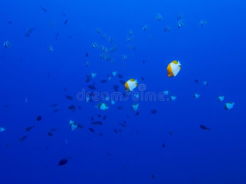 Φωτεινά σχολεία ψαριών πεταλούδων τροπικά στο μπλε κλίμα στοκ εικόνες