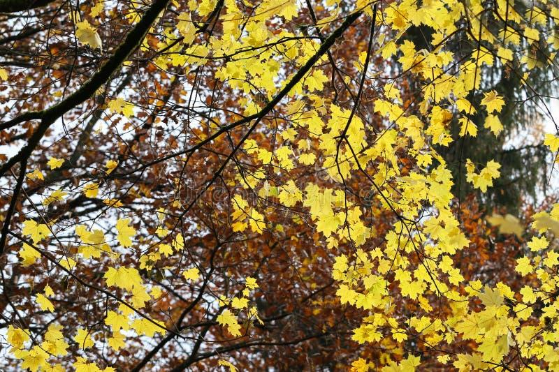 φωτεινά φύλλα φθινοπώρου στοκ φωτογραφία