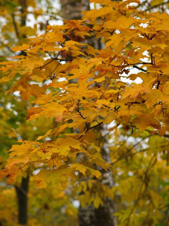 Φωτεινά χρώματα του φθινοπώρου στα φύλλα στοκ φωτογραφίες