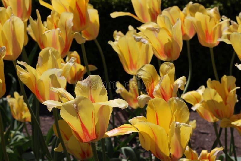 Φωτεινές κίτρινες και πορτοκαλιές ριγωτές τουλίπες στοκ φωτογραφία