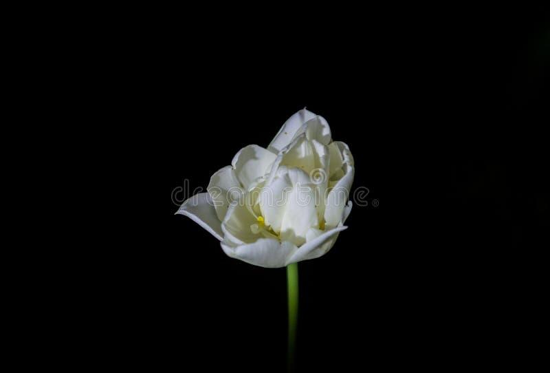 Φωτεινές και ασυνήθιστες τουλίπες σε ένα μονοφωνικό μαύρο υπόβαθρο Νύχτα που φωτογραφίζει σε έναν κήπο με τα λουλούδια στοκ εικόνες