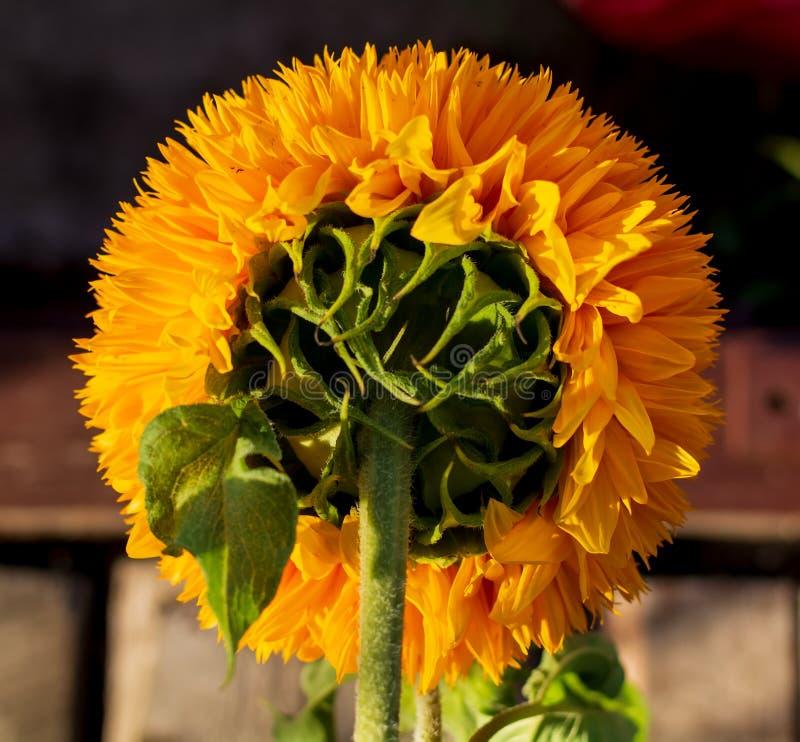 Φωτεινή κίτρινη κεφαλή ηλιοτρόπιου που φωτίζεται από τον απογευματινό ήλιο στοκ φωτογραφία με δικαίωμα ελεύθερης χρήσης